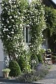 Rosa 'Madame Alfred Carriere' (Kletterrosen) an Hauswand um Fenster