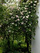 Rosa 'Ghislaine de Feligonde' (Historische Rambler - Rose) am Haus