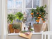 Citrus kucle (Kreuzung aus Kumquat und Clementine), Salbei -Stämmchen