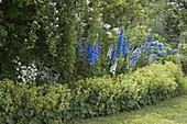Blau-weißes Staudenbeet mit Delphinium (Rittersporn), Campanula