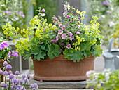 Terracotta - Kasten bepflanzt mit Alchemilla (Frauenmantel) und Anisodontea