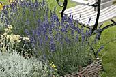 Lavendel 'Hidcote Blue' (Lavandula angustifolia), Heiligenkraut (Santolina)