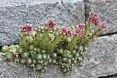 Blühende Sempervivum arachnoideum (Spinweb-Hauswurz) in Trockenmauer