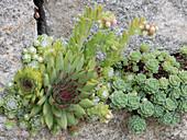 Sempervivum arachnoideum und calcareum (Hauswurz), Sedum pachyclados