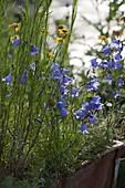 Campanula rotundifolia 'Olympica' (Rundblättrige Glockenblume)