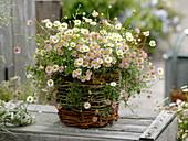 Erigeron karvinskianus 'Blütenmeer' (Spanisches Gänseblümchen) im Korb