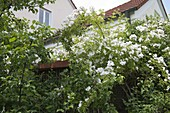Rosa multiflora (Vielblütige Rose)