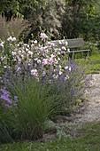 Kiesbeet mit Lavatera thuringiaca 'Barnsley' (Busch - Malven), Nepeta