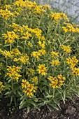 Sedum floriferum 'Weihenstephaner Gold' (Gold-Fetthenne)
