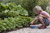 Junge pflückt Erdbeeren (Fragaria), Buxus (Buchs), Rhabarber