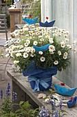 Argyranthemum 'Stella 2000' (Margerite) dekoriert mit gefalteten Schiffchen