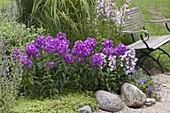 Phlox paniculata 'Purpurkuppel' , maculata 'Natascha' (Flammenblumen)