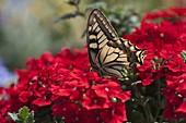 Schwalbenschwanz (Papilio machaon) auf Verbena 'Lanai Red' (Eisenkraut)