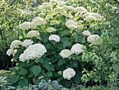 Hydrangea arborescens 'Annabelle' (Strauch-Hortensie)