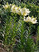Lilium asiaticum 'Alaska' (Asiatische Lilien)