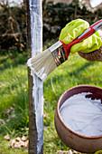 Rinde von Bäumen zum Schutz vor Frostrissen mit Kalk anstreichen