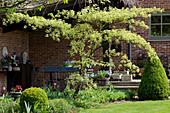 Cornus alternifolia 'Argentea' (Etagenhartriegel) im Terrassenbeet am Haus, Tulipa (Tulpen), Buxus (Buchs) Kegel und Kugel Formschnitt