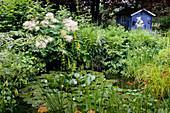 Kleiner Teich mit Nymphaea (Seerosen), Stauden am Ufer : Aruncus dioicus (Geißbart), Lysimachia punctata (Goldfelberich), Alchemilla (Frauenmantel), blaues Gartenhaus im Hintergrund