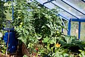 Gewächshaus mit Hochbeet : mit Stroh gemulchte Tomaten (Lycopersicon) und Zucchini (Cucurbita pepo)