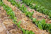 Mit Stroh gemulchte Salatpflanzen im Beet