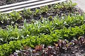 Mischkultur mit Roten Beten (Beta), Rucola (Eruca sativa), Salat