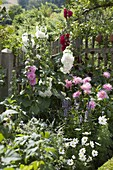 Alcea Charters 'Pink' 'Red' 'White' (Stockrosen), Dahlia (Kaktus - Dahlie)