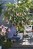 Datura 'Pink Favourite' (Engelstrompete)