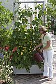 Frau gießt fahrbaren Kasten mit Feuerbohne (Phaseolus coccineus)