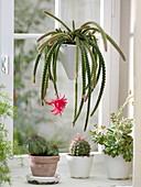 Blühender Aporocactus mallisonii syn. Disocactus (Schlangenkaktus)