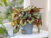 Begonia Rex 'Silver Queen' (Königsbegonie) in Blecheimer am Fenster
