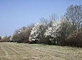 Wildsträucher - Hecke mit blühenden Schlehen (Prunus spinosa)