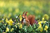 Eichhörnchen in Frühlingswiese, Sciurus vulgaris, Bayern, Deutschland / Red Squirrel in flowering meadow, Sciurus vulgaris, Bavaria, Germany, Europa