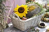 Blütenkopf von Helianthus (Sonnenblumen) in Korb