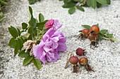 Rosa rugosa (Apfelrose, Kartoffelrose, Dünenrose), Blüten und Hagebutten