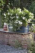 Blauer Holzkasten mit Solanum jasminoides (Nachtschattenjasmin)