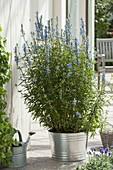 Pfeffer-Salbei, Hummelschaukel (Salvia uliginosa) in Blechtopf