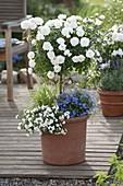 Rosa 'Snow Meillandina' (Rosen - Stämmchen) unterpflanzt mit Lobelia