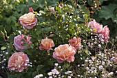 Rosa 'Botticelli' (Kleinstrauchrose), sehr gesund, öfterblühend
