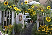 Bauerngarten mit Helianthus (Sonnenblumen), Helenium