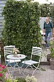 Humulus lupulus (Hopfen) als Sichtschutz in großem Kasten