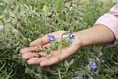Blüte und Samen von Borretsch (Borago) nebeneinander auf der Hand