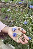 Blüten und Samenstände von Centaurea (Kornblumen)