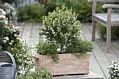 Myrtus communis (Brautmyrte) Stämmchen, Oregano (Origanum)