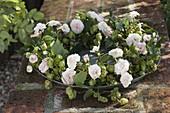 Kranz aus Humulus lupulus (Hopfen), Rosa (Rosen) und unreifen Hagebutten