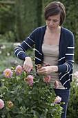 Junge Frau entfernt verblühte Blüten von Dahlia (Dahlie)