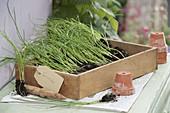 Jungpflanzen von Schalotten (Allium ascalonicum) zum auspflanzen