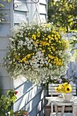 Gelb - weiße Ampel mit Lobularia 'Snow Princess' (Duftsteinrich) und Bidens