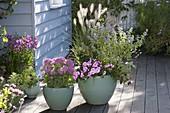 Caryopteris 'Summer Sorbet' (Bartblume), Pennisetum 'Hameln'