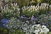 Blau-weißes Beet am Zaun