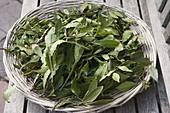 Blätter von Lorbeer (Laurus nobilis) trocknen als Gewürz